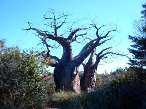 Africa's Baobob Tree